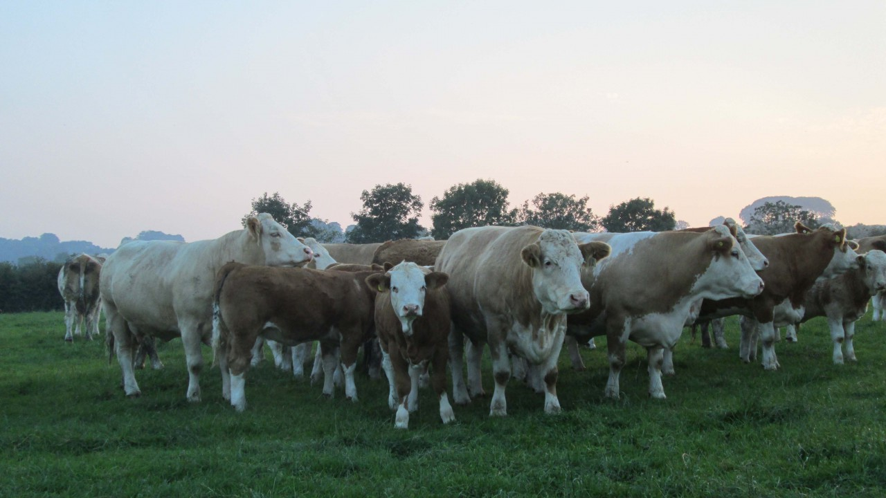 Irish cattle prices continue to climb in Europe