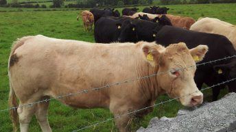 Beef price falls €105/head since July – steers crash to 395c/kg