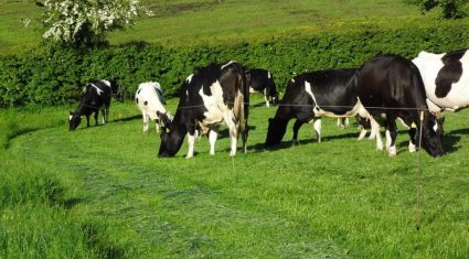 Number of dairy cows in Northern Ireland reaches all time high