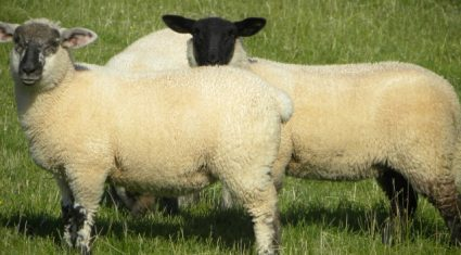 'French sheep market to pick up in the coming weeks'