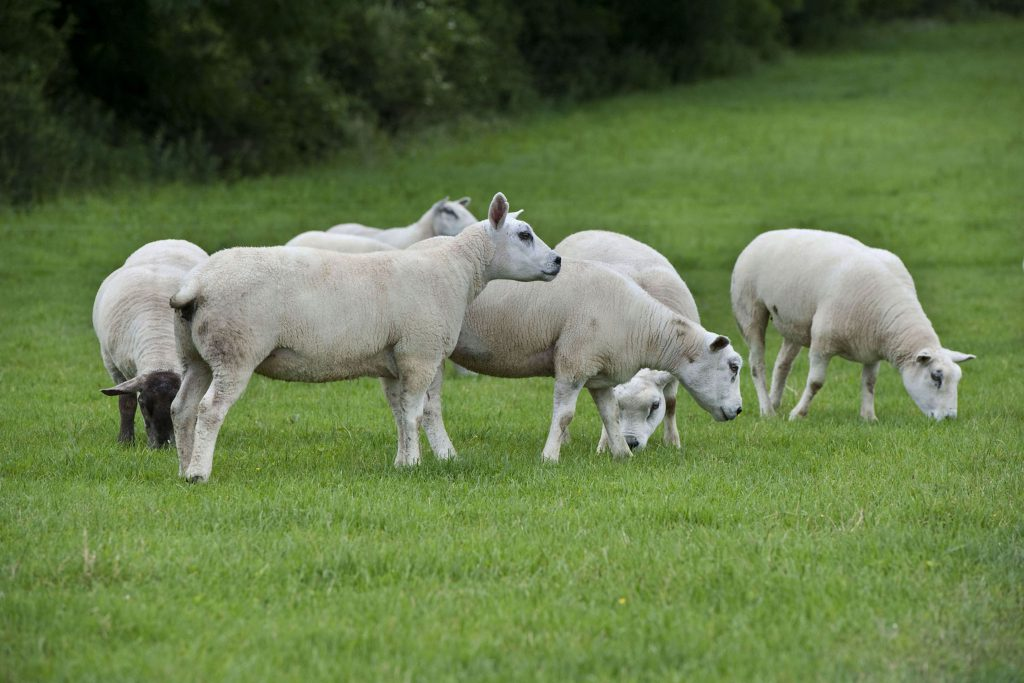 Sheep Marts - Hogget ewes to the fore as prices reach €206/head