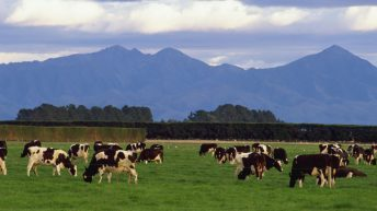 New Zealand (not Ireland) worst hit by dairy downturn – Rabobank