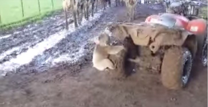 Video: Watch this koala chase down a farmer on a quad bike!