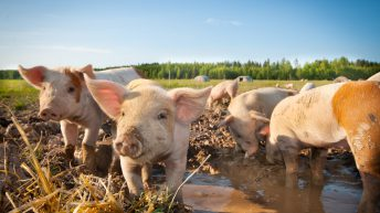 Government warning reminds pig owners not to feed household waste