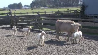 Kiwi sheep gives birth to quadruplet lambs