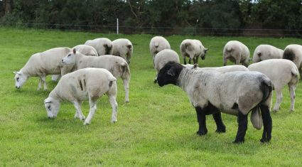5 reasons to having a 5-Star ram on your farm