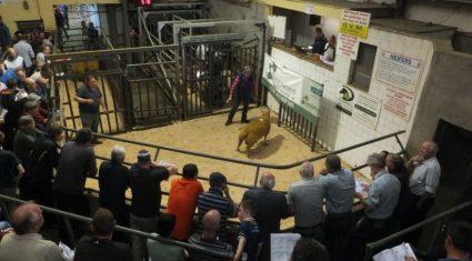 Rams make €940 at Sheep Ireland 'elite' five-star sale