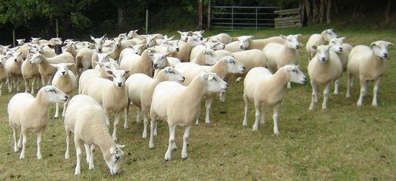 belclare ewes