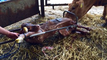 47% of farmers have been attacked by a cow at calving time