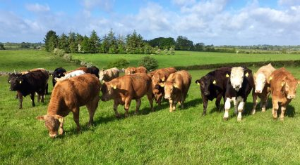Effective beef production up for discussion at Gain information evening