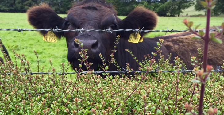 Could beef prices fall below €4/kg in the coming weeks?