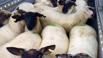 Imports of Northern Irish lamb for slaughter fall in August