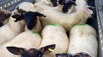 UK sheep meat imports from Ireland dropped 33% in June
