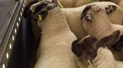 'Full electronic tagging would cost sheep farmers €2m a year'