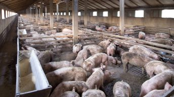 Increase in African swine fever cases in some pig facilities in eastern Europe