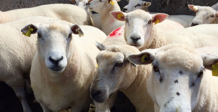 Lamb price gap costing Northern farmers more than £1m