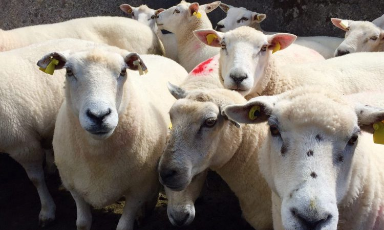 'Greater cooperation needed' to combat rising number of sheep thefts