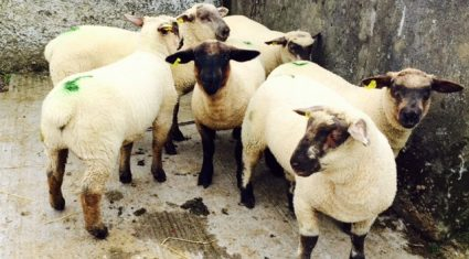 Sheep marts – factory and butcher lots fall 2-6c/kg