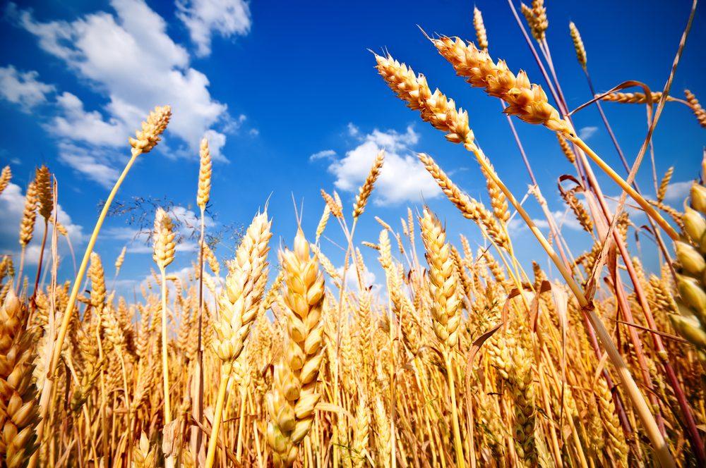 Grain price: Wheat increasing all week