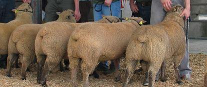 vendeen sheep