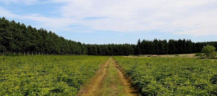 Love Christmas? Here's your chance to buy a Christmas tree farm