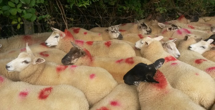 Sheep Marts – Store lambs a little easier as lots slip by €1-3/head