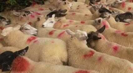 National sheep kill back 5% year-on-year