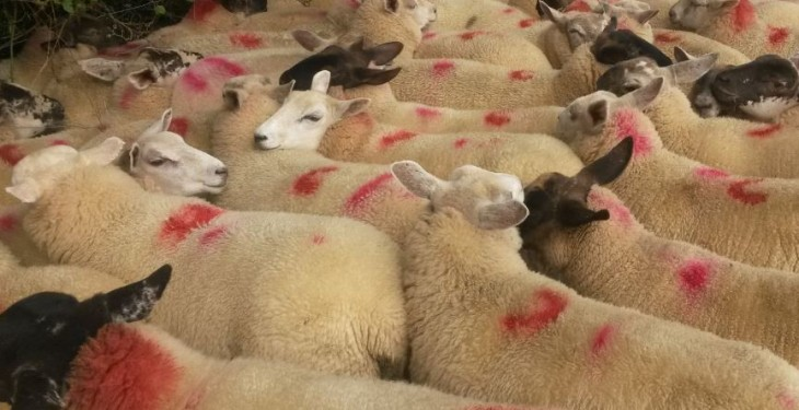 National sheep kill back 5% year-on-year