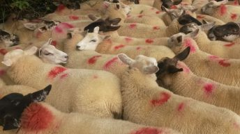Sheep marts – Increased demand for store lambs with lots up €4-5/head