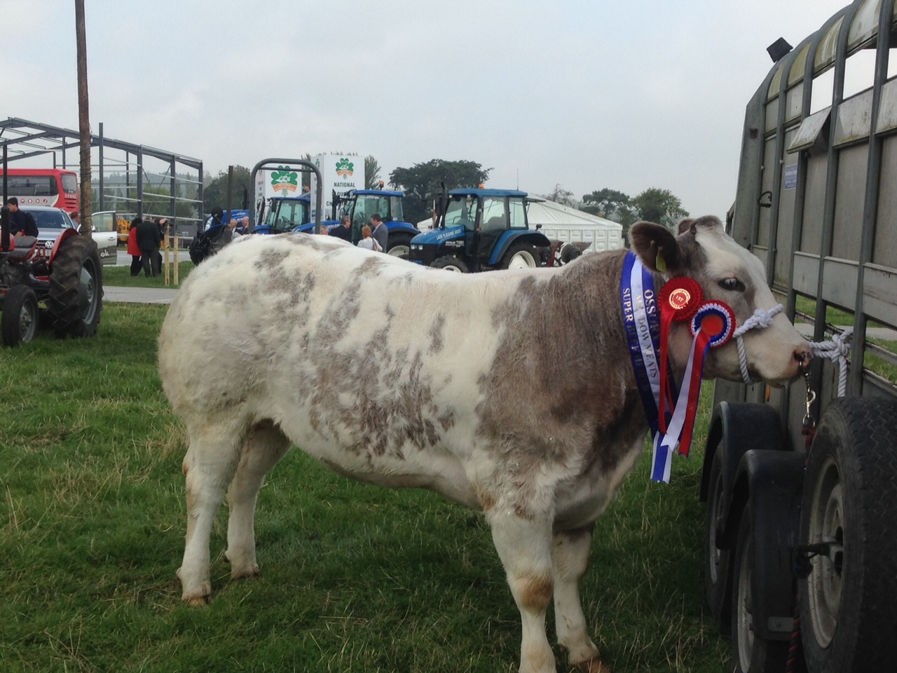 Belgium Blue X heifer who won Best Heifer with no Permanent Teeth at the Tullamore Show, owned by Erwin Stanley