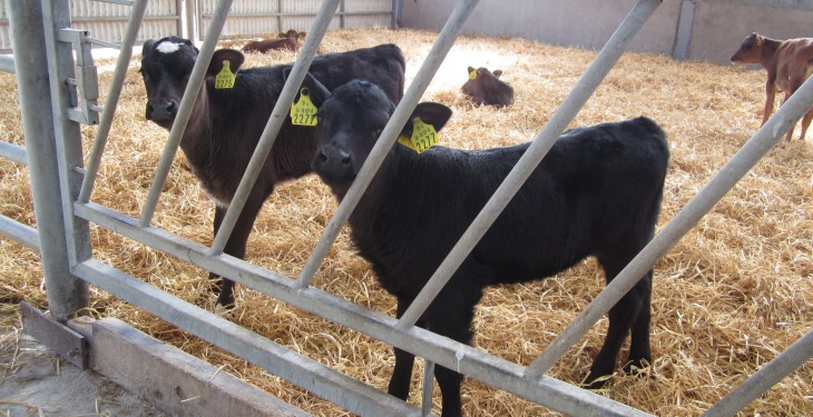 Autumn-calvings fall 16% as farmers move to spring-calving systems – ICBF