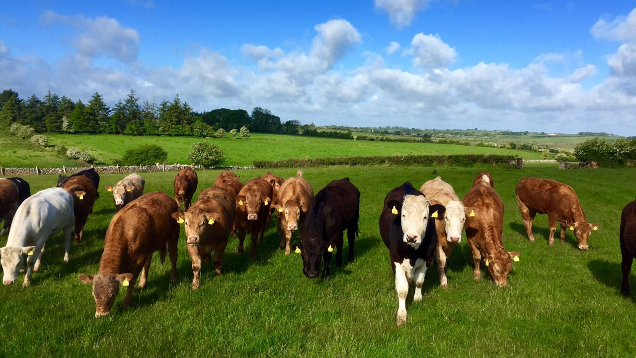 National beef kill now back 47,250 head on last year