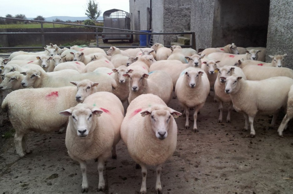 Sheep and Ewes Penned