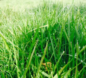 Are you using the best grass variety? Ongoing study throws up changes in performance