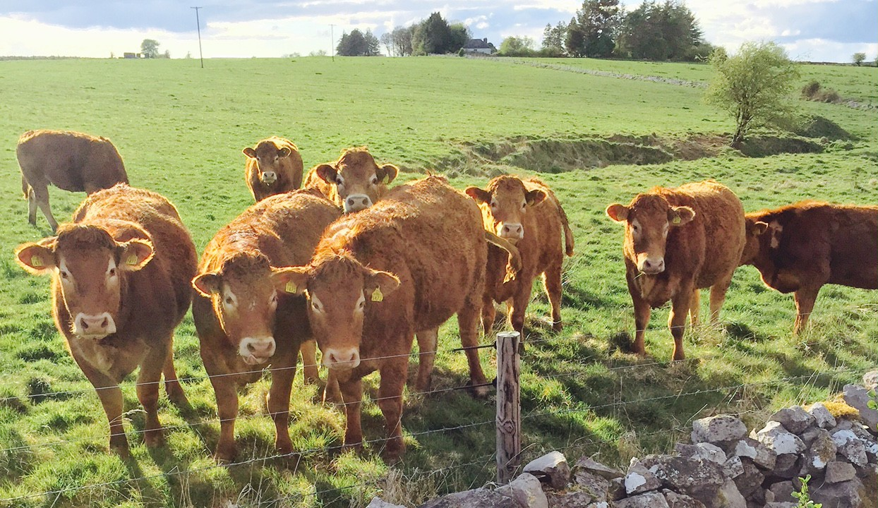 Heifer price sits at 405c/kg – No change in factory beef price