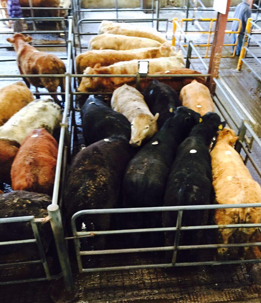 mart cattle