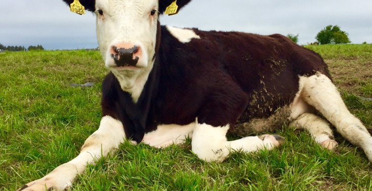 Hereford Prime producer group to increase production by 24% this year
