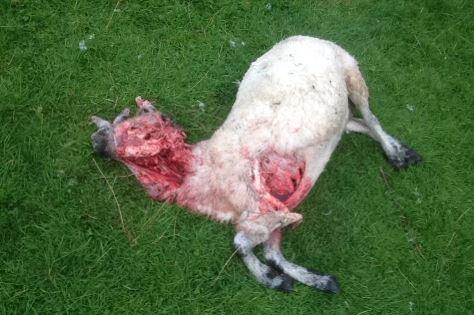sheep attack 4