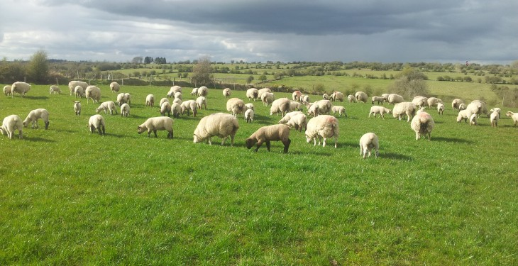 Lambs reach slaughter weight earlier on multi-species swards – UCD research