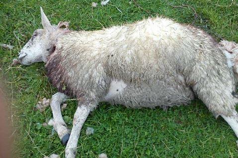 sheep kill 1