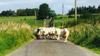'Dubious method of determining age sees farmers lose €30/hogget'