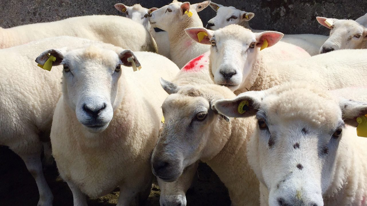Sheep trade: Prices moving in the wrong direction