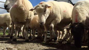 National sheep kill back 2% year-on-year
