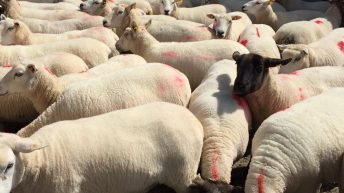 Four key elements to control liver fluke in sheep