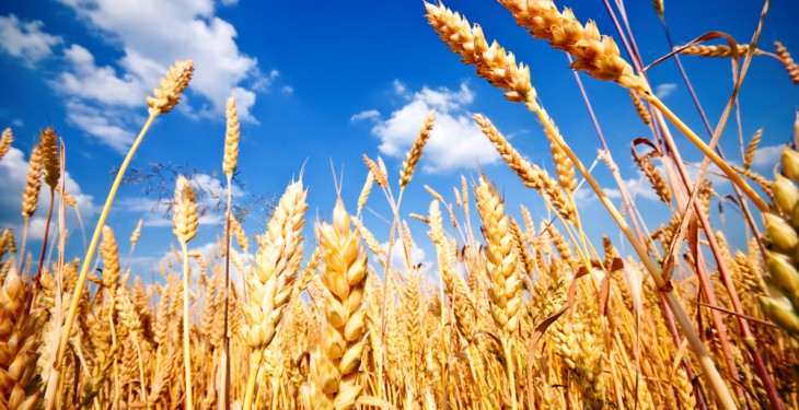 Grain price: Wheat drifting downwards