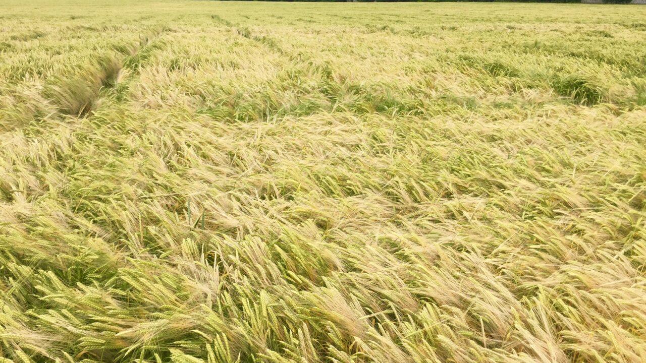 Tillage farmers asked to back malting barley proposals for 2017
