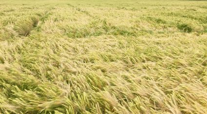 Tillage farmers asked to back malting barley proposals for 2017