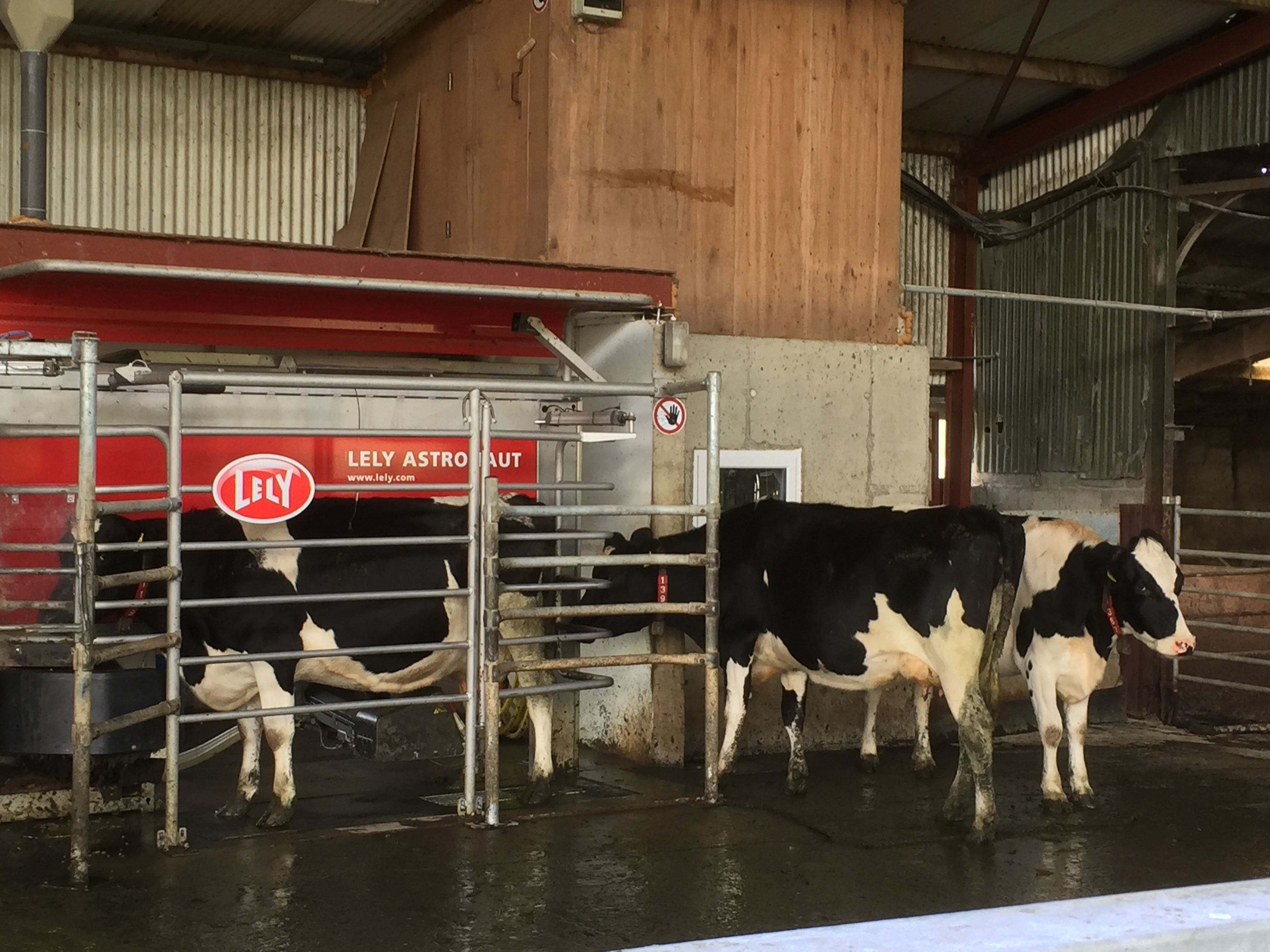 Dairy cows being milked by a robot IGA