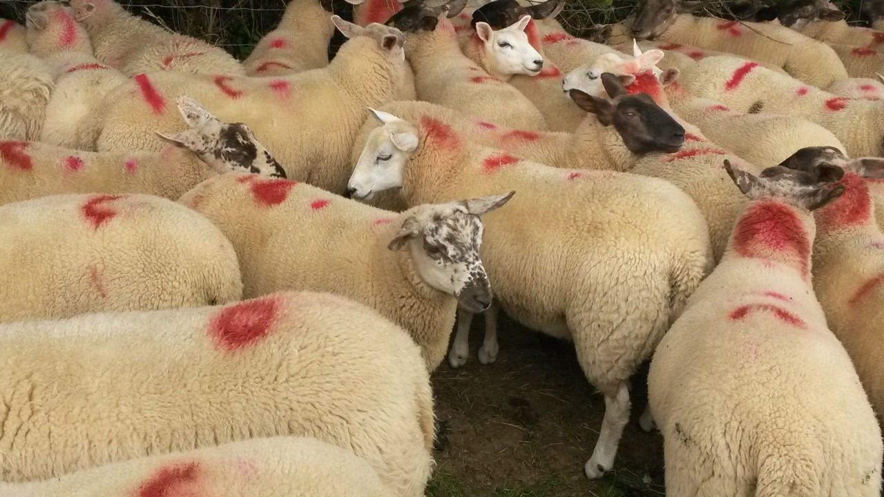 Northern lambs slaughtered in the Republic falls below 40%