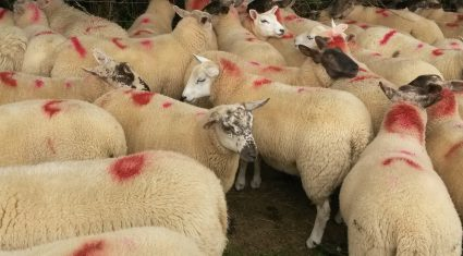 Total spring lamb kill drops by 75,736 head on 2014 levels